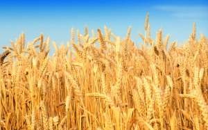 wheat, free pic