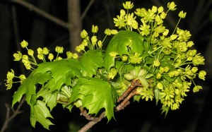 maple blooms in spring