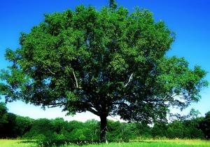 Maple-Summer-tree of life, edited