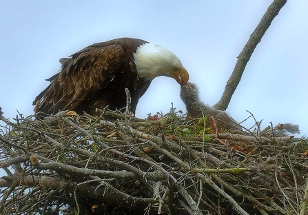 eagle feeding eaglet, edit, for blog