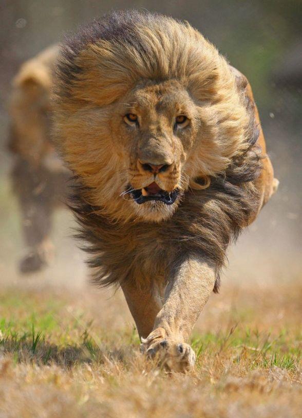 lion-, for blog on boldness
