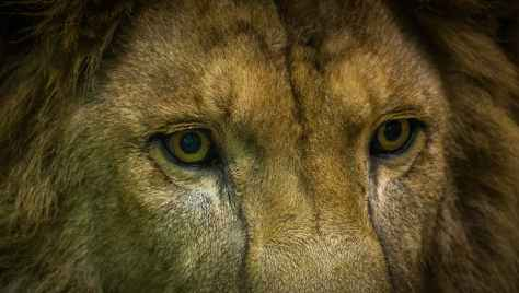 close up shot of lion